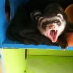 Percy müde