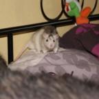 Husky Ratte Emmet